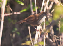 Difficult to see: Cetti´s Warbler Royalty Free Stock Images