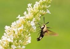 Diffinis di Hemaris, lepidottero di Clearwing dello Snowberry in volo Fotografia Stock