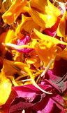 Diffrent angle of rose and marigold. Rose marigold yellow Royalty Free Stock Images