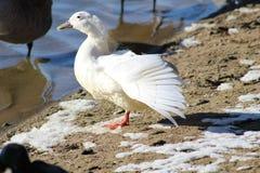 Diffusion blanche d'aile de canard Photographie stock libre de droits