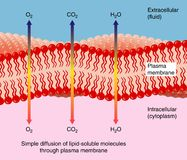 Diffusion through plasma membrane. Simple diffusion of water and gasses through a cell's plasma membrane Stock Images