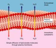 Diffusion through plasma membrane stock illustration