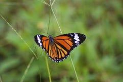 Diffusione della farfalla di monarca fotografie stock libere da diritti