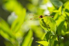 Diffusione delle ali della libellula dello stendardo del calicò, con ombra, sulla foglia Immagini Stock