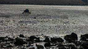 A dig clams fishermen on beach,ebb. stock video