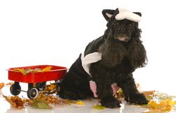 Dig dressed up as a cow royalty free stock photography
