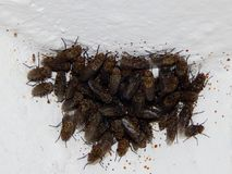 Dig flies settling on ceiling. Autumn, coldly. Flies are hidden in warm places. dig flies settled under ceiling. insects, mosquitoes, spiders all hide from royalty free stock photography