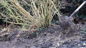 Dig out forsythia shrub, spring, garden working. Garden working, dig out forsythia shrub stock video