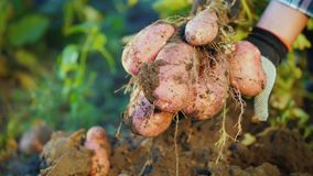 Dig out a potato bush from the ground. Farm products concept. 4k video stock video footage
