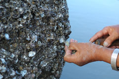 Dig oyster Royalty Free Stock Image