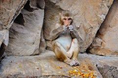 Dig sammanträde för Macaqueapa på Hanuman Temple nära Jaipur, Indien Arkivbild