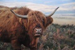 Dig som ser mig? Skotsk höglands- ko royaltyfri fotografi