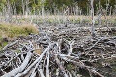 Diga del castoro al parco nazionale della Terra del Fuoco Immagine Stock