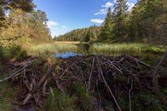 Diga del castoro nella foresta fotografia stock libera da diritti