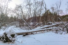 Diga del castoro nella foresta di inverno fotografia stock