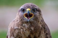 Diga el queso Retrato de un halcón común fotografía de archivo
