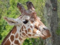 Diga o queijo! Girafa fotos de stock