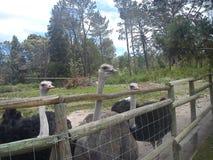 Diga olá! às avestruzes foto de stock royalty free