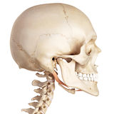 The digastric Royalty Free Stock Photo