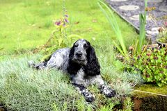 Spaniel lying in the pinks Royalty Free Stock Photos