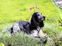 Spaniel lying in the pinks Stock Image