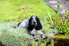 Spaniel lying in the pinks Royalty Free Stock Image