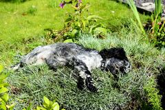 Spaniel rolling in the pinks Royalty Free Stock Photography