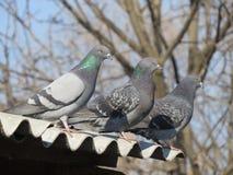 Digeons se reposant sur le toit Photos libres de droits