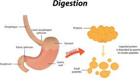 Digestión de proteínas ilustración del vector