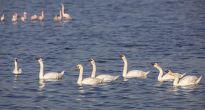 Digestion. Family of mute swans (Cygnus olor) are digesting the food raising their heads to the sky Royalty Free Stock Photo