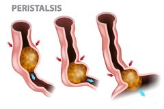 Digestion and Peristalsis. Esophagus Function royalty free illustration