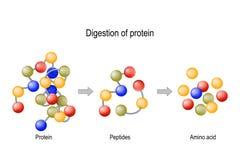 Digestione di proteina Proteasi e peptidasi degli enzimi, peptidi e aminoacidi illustrazione di stock