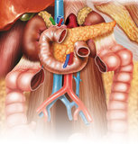 Digestive apparatus Stock Images