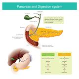 The digestive enzymes travels through the pancreatic duct to mix. With food in the duodenum. The liver produce Bile, which is stored in the gall bladder Royalty Free Stock Images