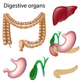 Digestive organs isolated. Eps8, gradient and mesh printing compatible Stock Images