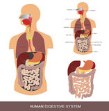 Digestive system. Detailed medical illustration Royalty Free Stock Photography