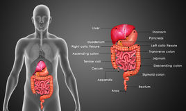 Free Digestive System Royalty Free Stock Photos - 48761928