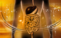 Digestive system Royalty Free Stock Images