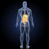 Digestive system with anatomy posterior view Stock Photos