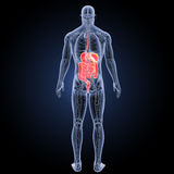 Digestive system with anatomy posterior view Stock Images