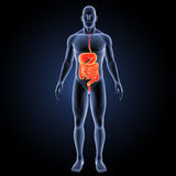 Digestive system with body anterior view. The digestive system is a group of organs working together to convert food into energy and basic nutrients to feed the royalty free stock images