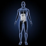 Digestive system with body anterior view Stock Photography