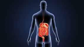 Digestive system with body stock video