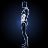 Digestive system with body lateral view Stock Photo