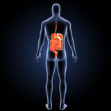 Digestive system with body posterior view Royalty Free Stock Photos