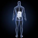 Digestive system with circulatory system posterior view Stock Photos