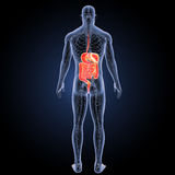 Digestive system with circulatory system posterior view Royalty Free Stock Photo