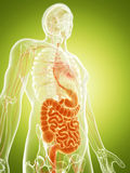 The digestive system Royalty Free Stock Photography
