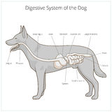 Digestive system of the dog vector illustration Royalty Free Stock Photos