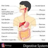 Digestive System. Easy to edit vector illustration of digestive system stock illustration